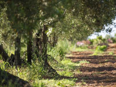 LET'S HARVEST OLIVES: WINE TASTING AND TYPICAL BRUNCH Tasting - Augustali Farm - AUGUSTALI Winery