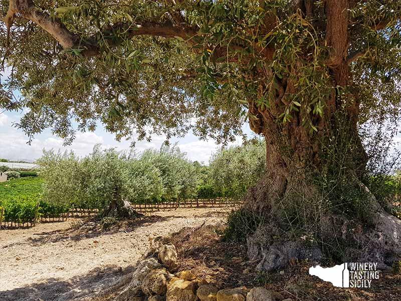 olio cristo di campobello ulivo